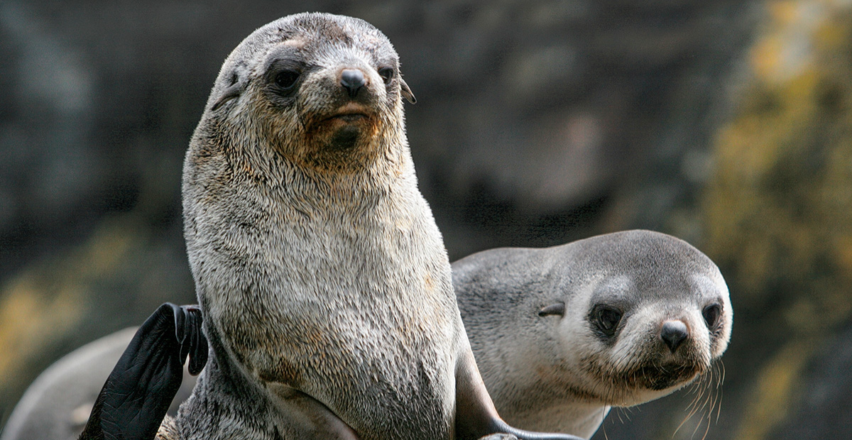 TTMo34_ZEG_Fur-Seals-PeterHarrison