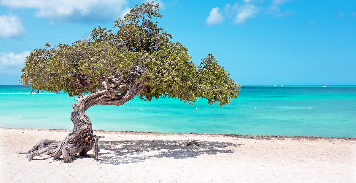 Fofoti tree on Aruba island in the Caribbean Sea