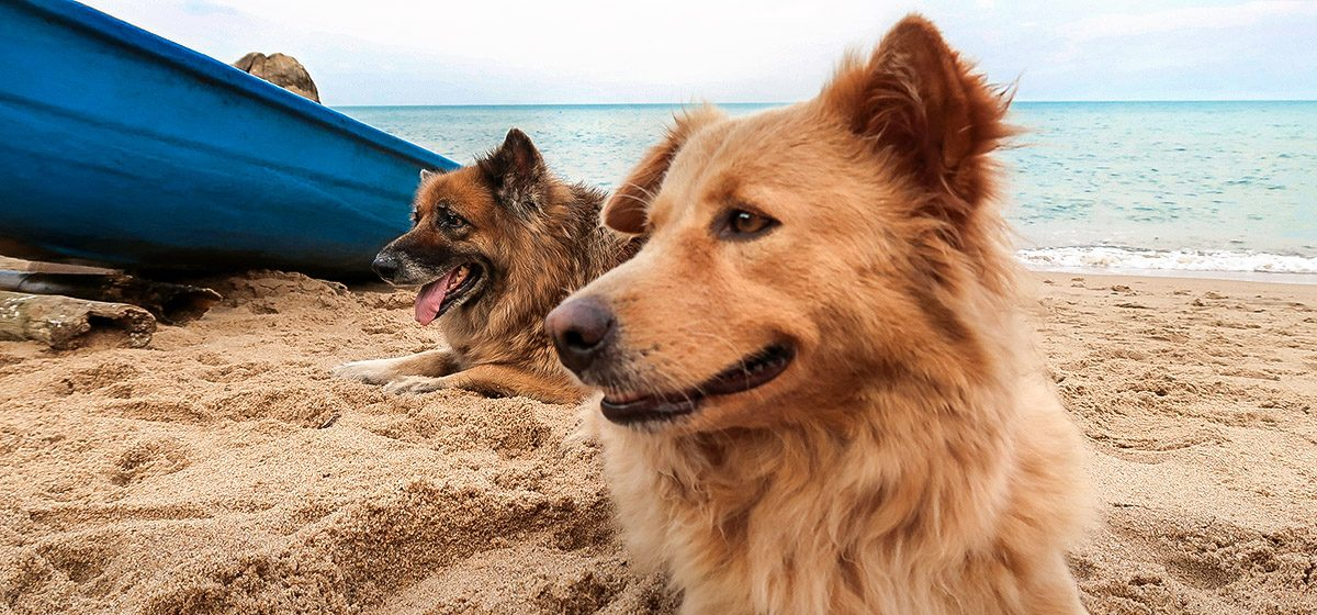 27178_GIVE_stock-photo-two-stray-dogs-on-a-beach-koh-samui-thailand-1477906634